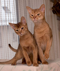 Фотографии кошек абиссинской породы.